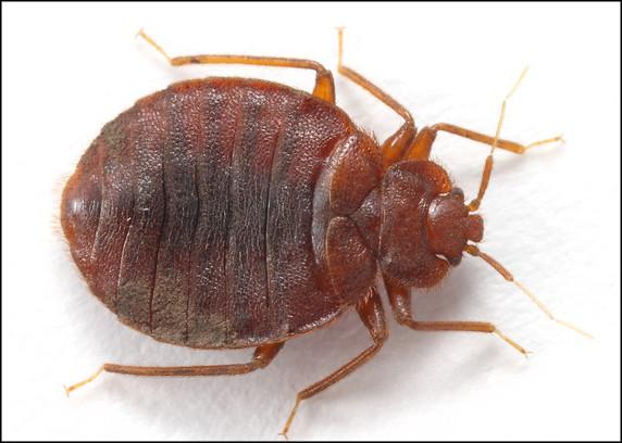 bed-bug-anatomy-closeup