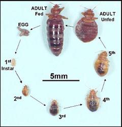 bedbug_cycle_240_250