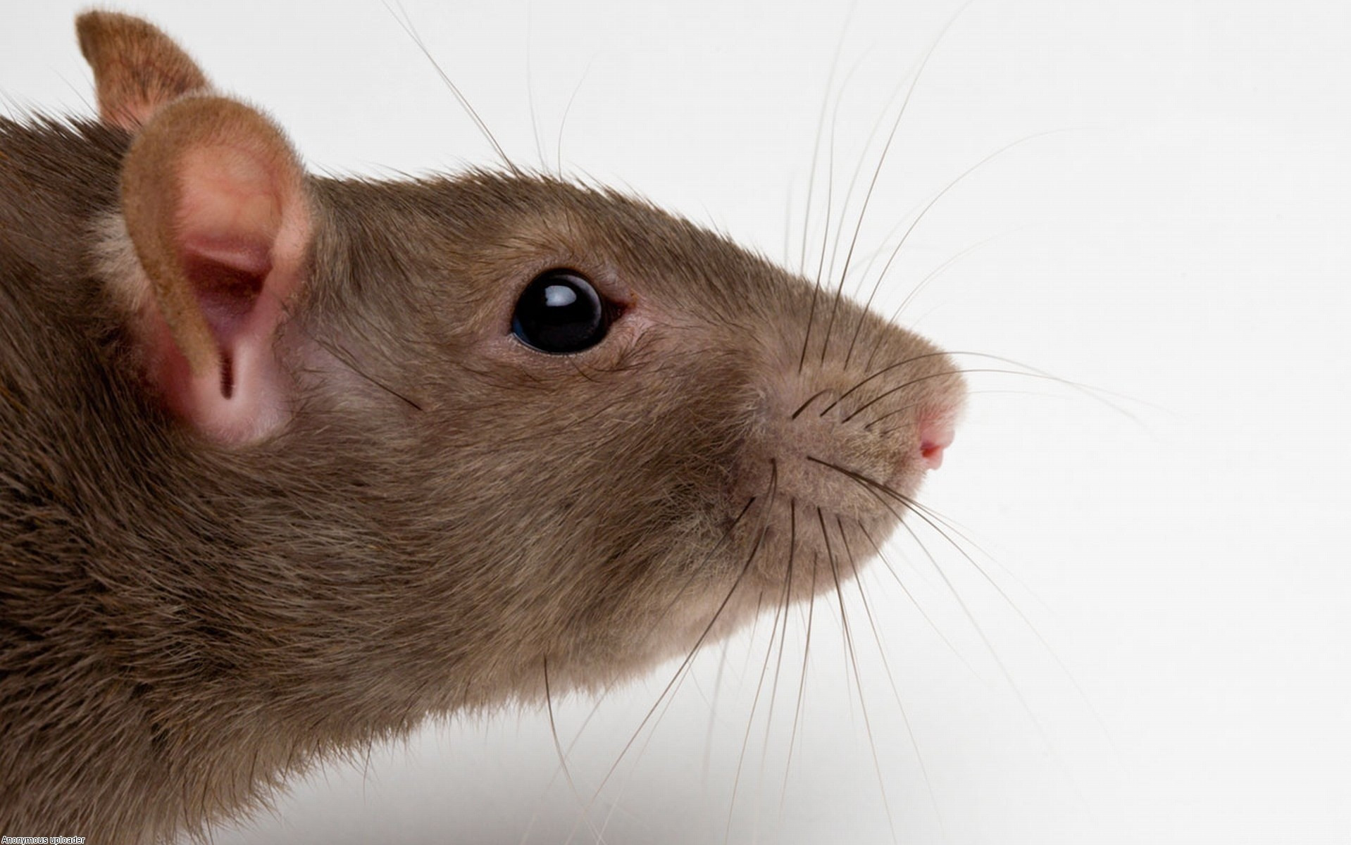 Brown_Rat_Head_Wallpaper